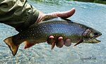 """This brook trout measured a bit over 14"""". From Mystery Creek # 237 in Montana."""