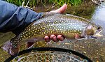 """My longest brook trout yet, 16 1/8"""". From Mystery Creek # 237 in Montana."""