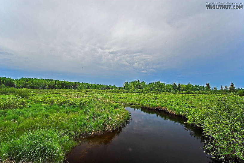 A storm recedes over the boggy headwaters of a nice trout stream.  I haven't seen any trout in this stretch, but it's a good place to collect burrowing mayfly nymphs. From the Marengo River in Wisconsin.