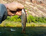 Fat little Owyhee rainbow. From the Owyhee River in Oregon.