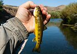 There was a pod of probably 50 little trout around this size feeding on this pool. From the Owyhee River in Oregon.