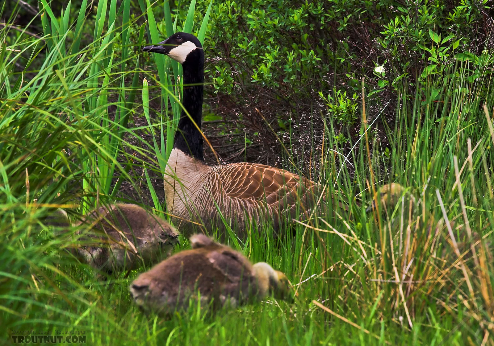 A canada goose looks over some large, downy goslings. From the Bois Brule River in Wisconsin.