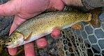 Pretty little Snake River Finespotted Cutthroat from the upper part of Flat Creek. From Flat Creek in Wyoming.