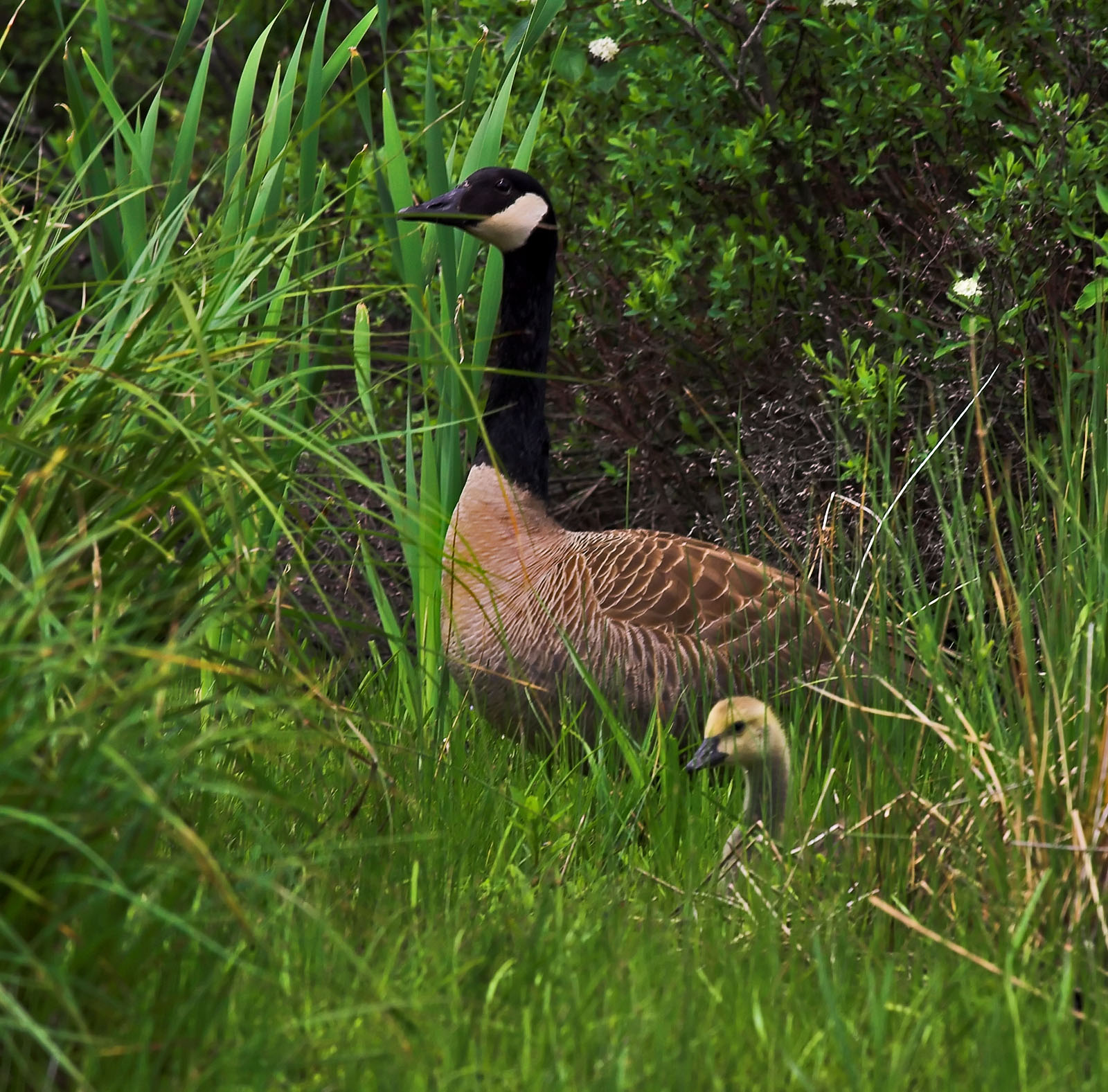 A Canada goose and gosling poke their heads out of the grass along a trout stream. From the Bois Brule River in Wisconsin.