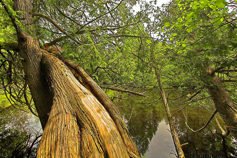 Gnarled cedars twist out over a nice trout stream. From the Bois Brule River in Wisconsin.