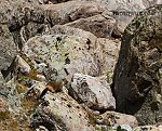 Yellow-bellied marmot From Titcomb Basin in Wyoming.