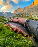 Twelve inch golden trout From Titcomb Basin in Wyoming.