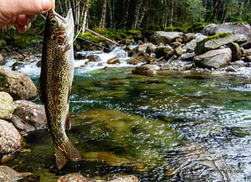 Rainbow trout From the Middle Fork Snoqualmie River in Washington.