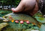 Coastal cutthroat From the Middle Fork Snoqualmie River in Washington.