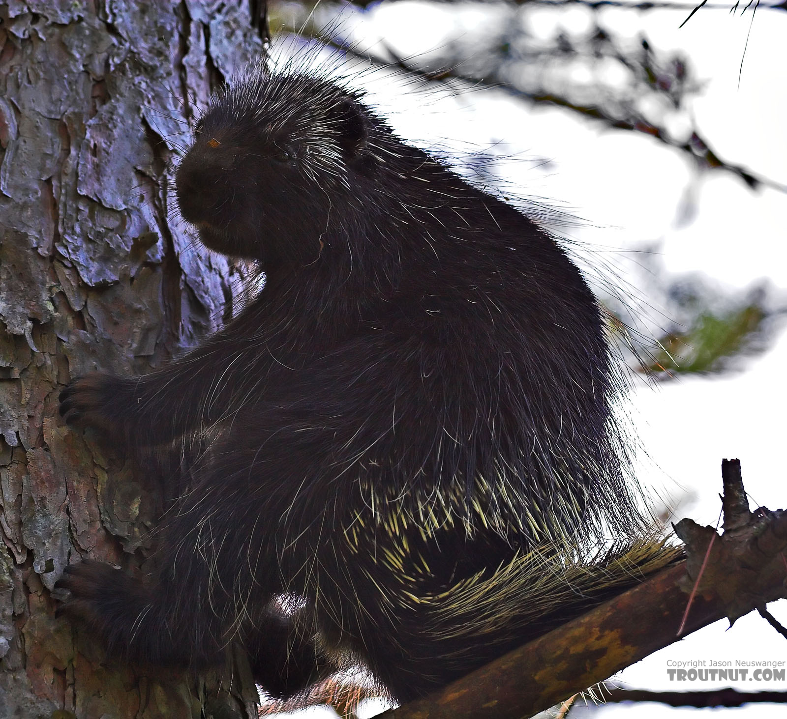 I saw this porcupine cross the road behind me while I was watching from a bridge for some large trout I'd heard about.  I ran back to the car for the camera and got quite close for a picture.  Speed is not one of the noble porcupine's many virtues. From the Namekagon River in Wisconsin.