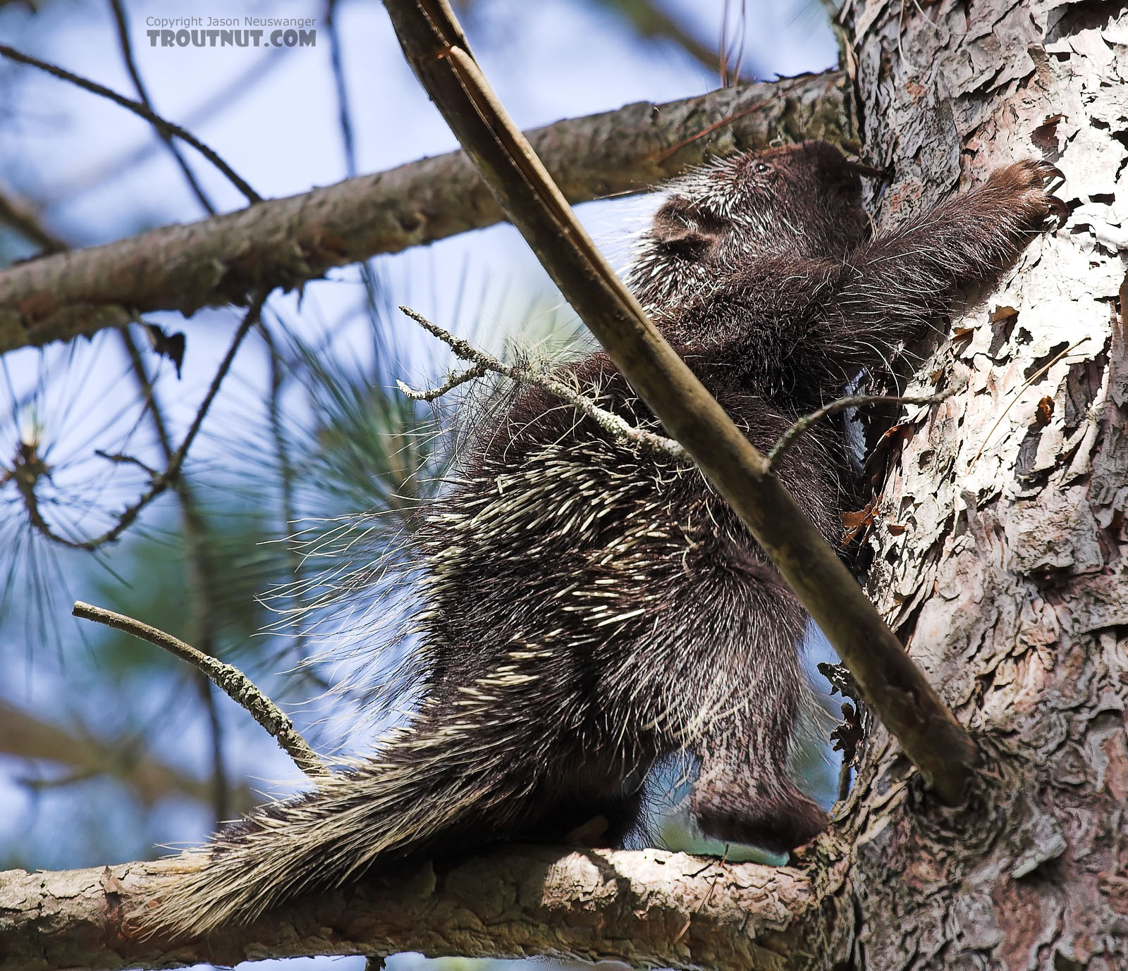 A porcupine climbs a pine tree near a trout stream. From the Namekagon River in Wisconsin.