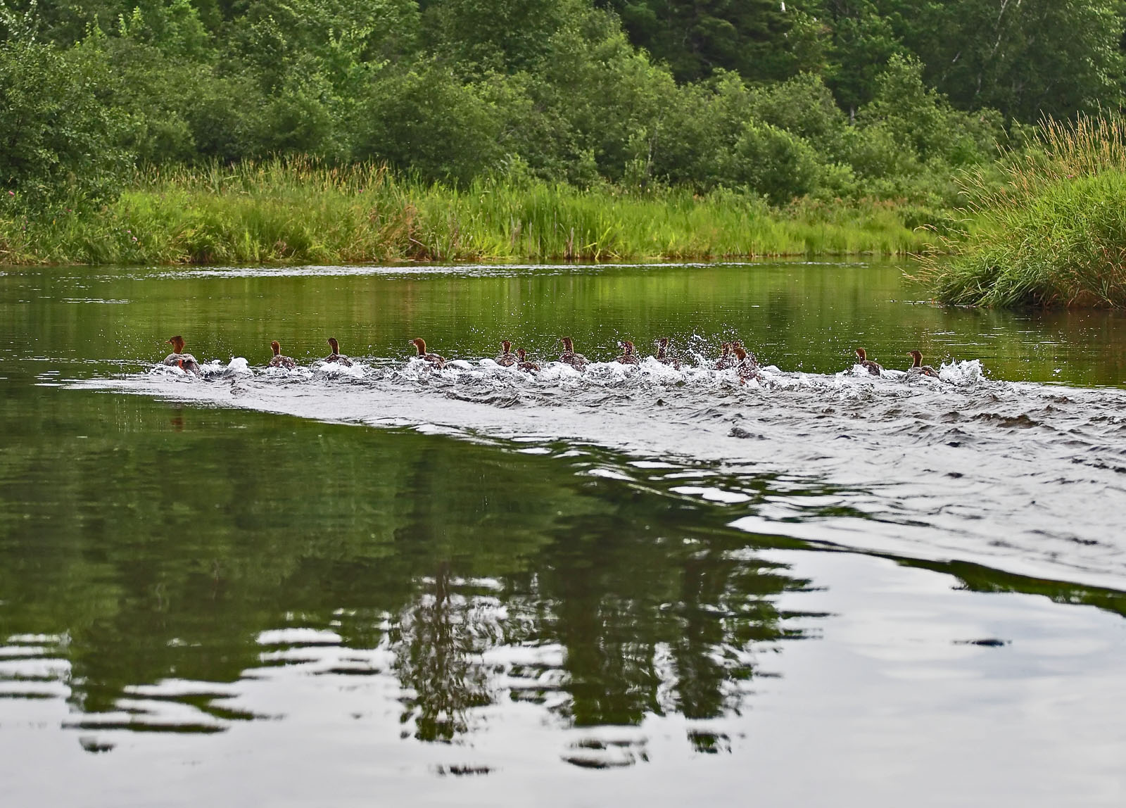 A flock of mergansers flees the canoe. From the Namekagon River in Wisconsin.