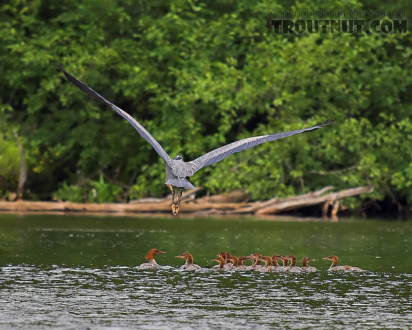 A great blue heron does a flyover on a flock of young common mergansers.  I wonder how many hundreds of young trout go into the creation of a great blue heron and fifteen mergansers... hmm, where's Dick Cheney when you need him?