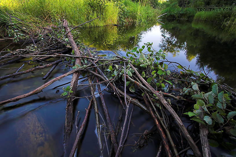 This beaver dam blocks fish movement in a small brookie stream.  Luckily the DNR seems to regularly remove the dams in this stretch, but the beavers just keep on rebuilding. From Eighteenmile Creek in Wisconsin.