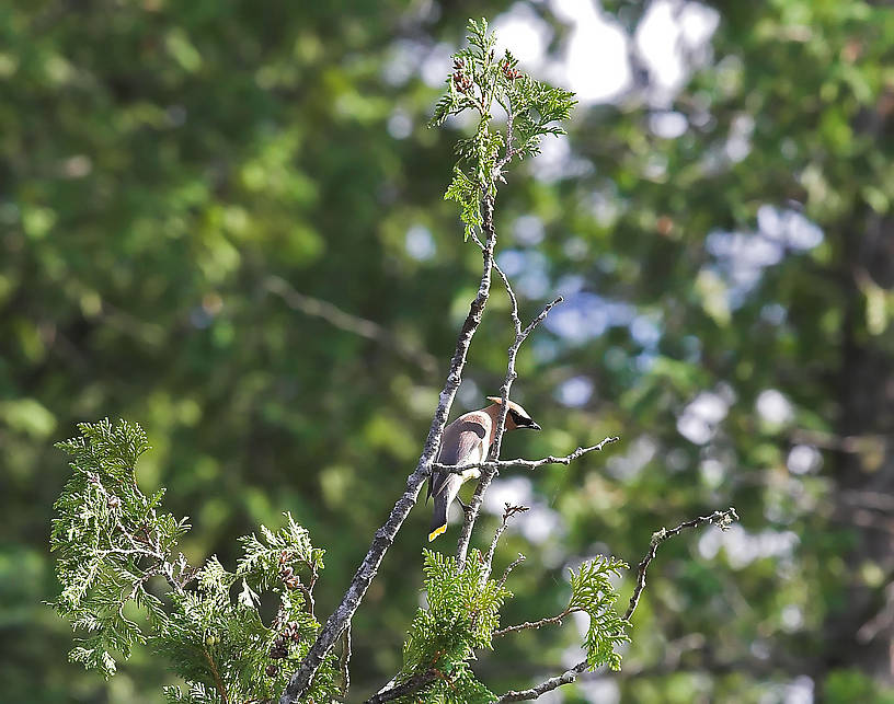 I photographed this cedar waxwing from the canoe as we passed by it. From the Bois Brule River in Wisconsin.
