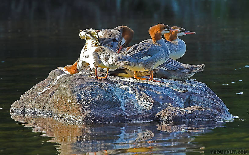 Some mergansers stretch and prepare to evacuate their rock as our canoe nears. From the Bois Brule River in Wisconsin.