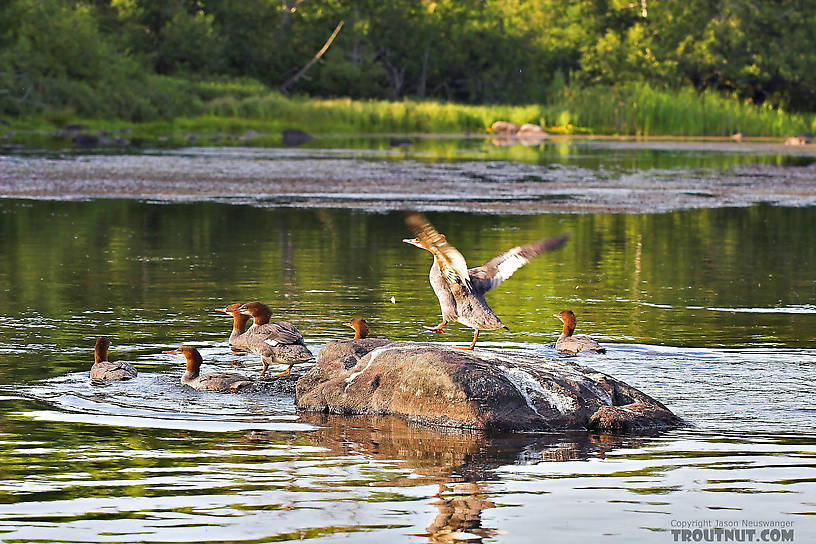 Several mergansers leave their rock in a mess. From the Bois Brule River in Wisconsin.