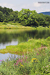 Late-summer wildflowers bloom along a large trout river. From the Delaware River, Junction Pool in New York.