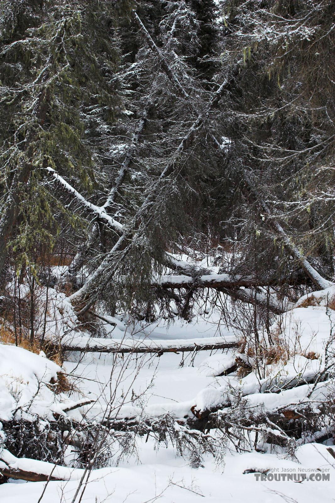 A tangled canopy of fir trees overhangs a small, completely frozen tributary of a grayling stream in central Alaska. From Chena Hot Springs Road in Alaska.