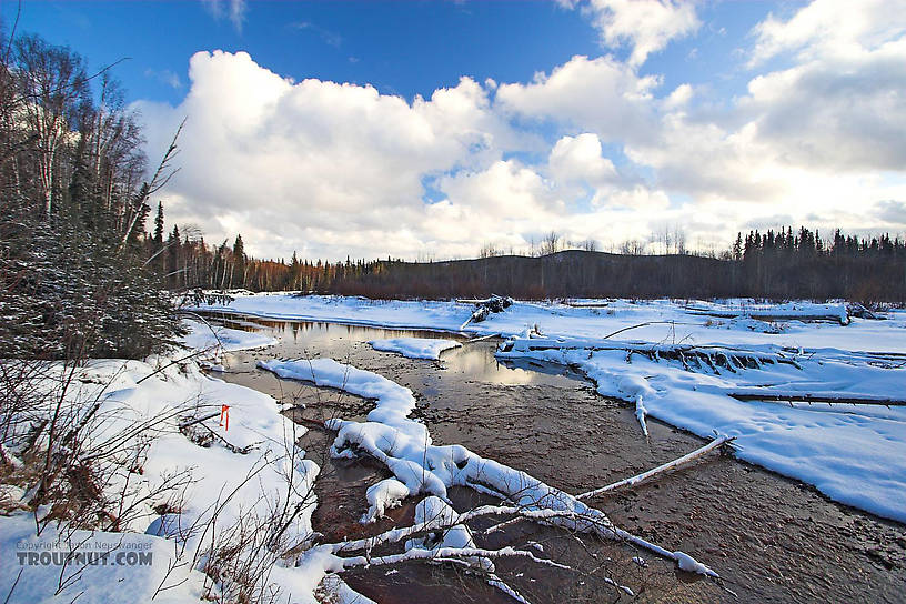 There are no trout here, but this beautiful river in Alaska is home to large Arctic Grayling and several species of salmon. From the Chena River in Alaska.