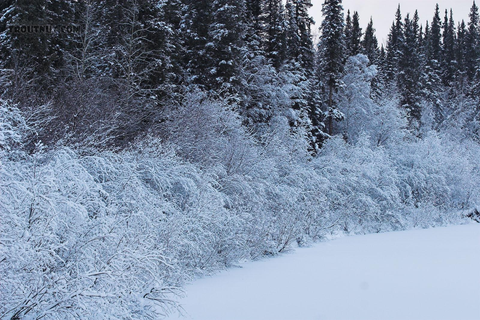A thick layer of ice clings to the branches of low bushes over an Alaskan river in the winter. From the Chena River in Alaska.