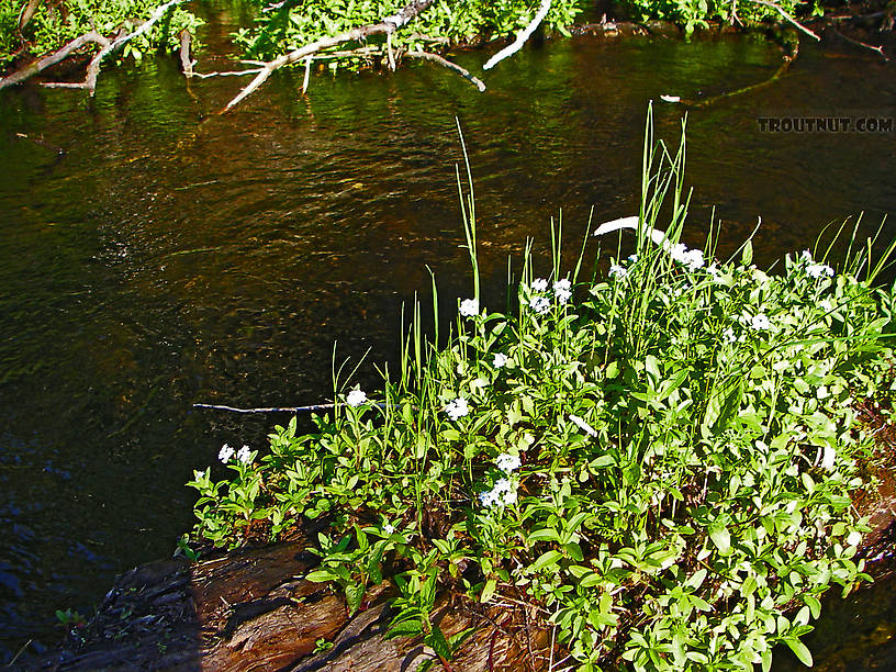 Forget-me-nots spread out over the midstream logs in a beautiful spring-fed, stable piece of trout stream. From the Bois Brule River in Wisconsin.