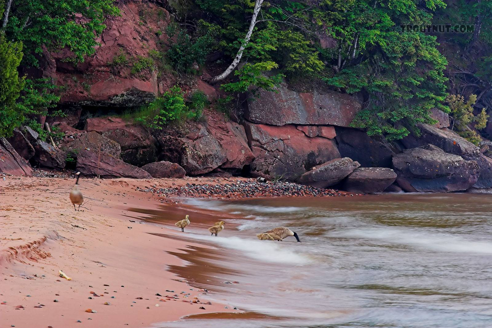 A family of geese take a drink from Lake Superior.  They then swam out effortlessly into the high breaking waves and foiled the retrieving efforts of somebody's ambitious dog. From Big Bay on Madeline Island in Lake Superior in Wisconsin.