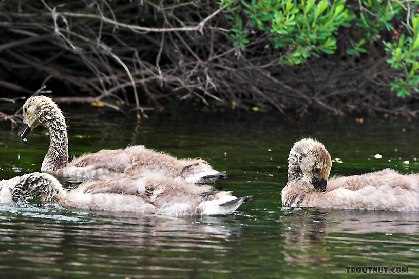 These baby Canada geese are just beginning to grow their real feathers. From the Bois Brule River in Wisconsin.