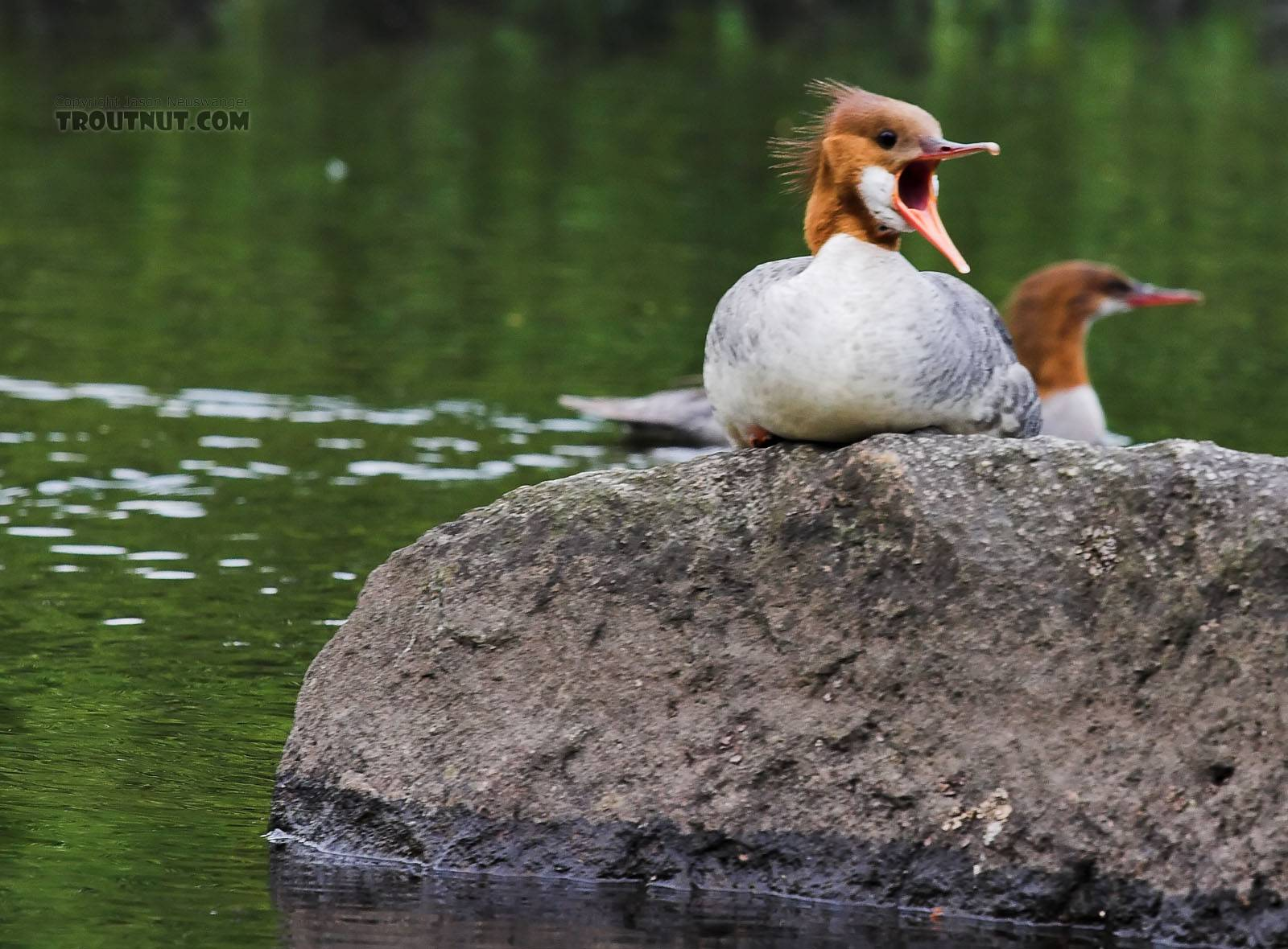 Look at the hole in that thing's mouth... no wonder mergansers are a threat to trout. From the Bois Brule River in Wisconsin.