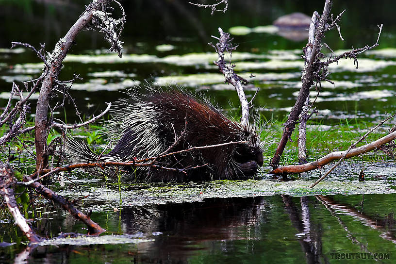 This porcupine seemed to be feeding on the filamentous green algae that had accumulated around the tip of a fallen cedar sweeper on a classic piece of northwoods trout water. From the Bois Brule River in Wisconsin.