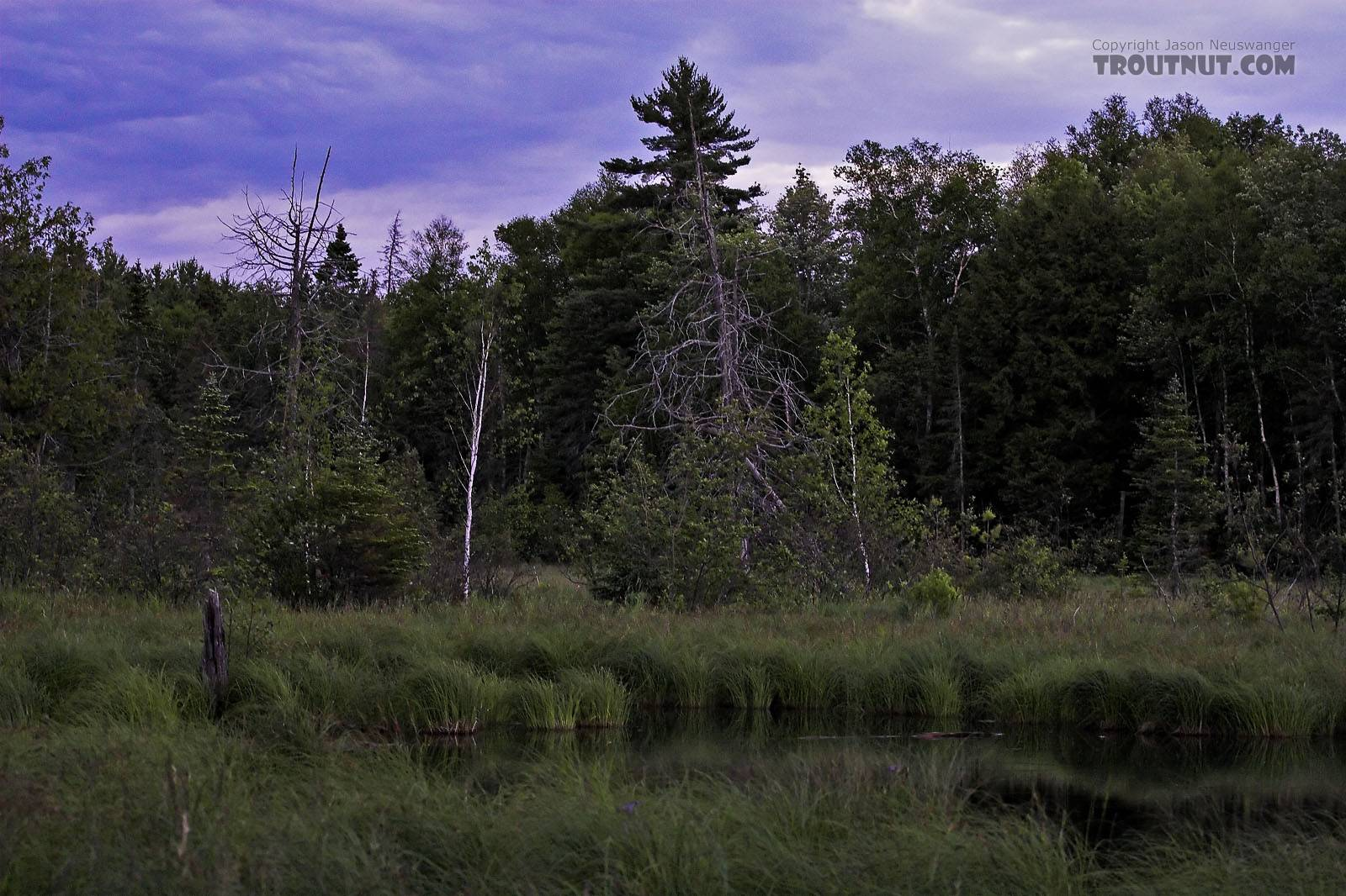 Here's a twilight picture of the upper end of a very remote old spring pond.  Miles from anything, it was once rumored to hold large brook trout, although access is almost impossible now and the habitat has changed dramatically. From Mystery Creek # 82 in Wisconsin.