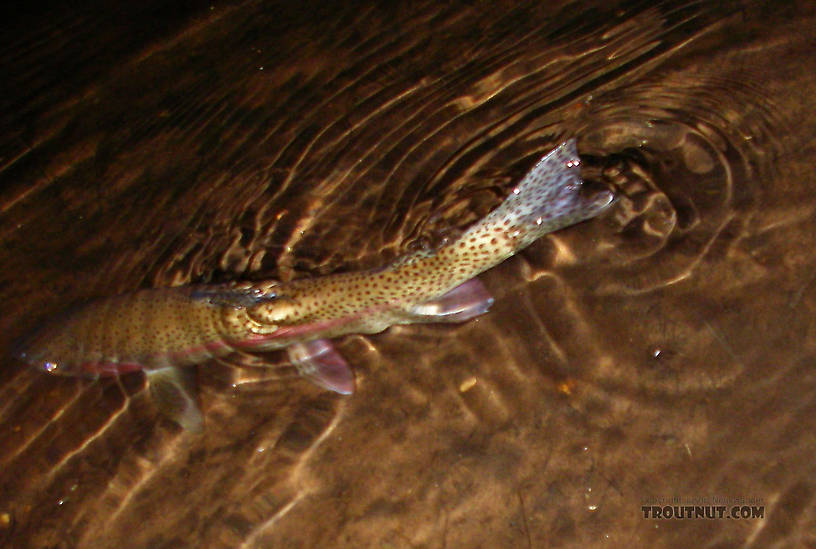 """The best fish of the evening, a 16"""" rainbow, escaped my net just as I was about to take a picture.  Luckily I reacted and snapped this action shot of the fish swimming away. From the Bois Brule River in Wisconsin."""