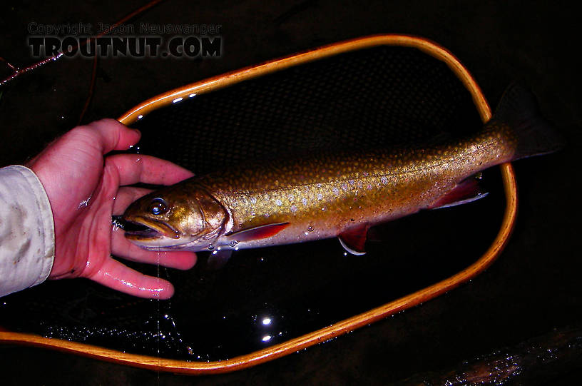 "This is my largest brook trout ever (as of June '06), 13 3/4"".  It was sporadically surface feeding at dusk and took a nice spinner pattern on the first pass. From the Bois Brule River in Wisconsin."