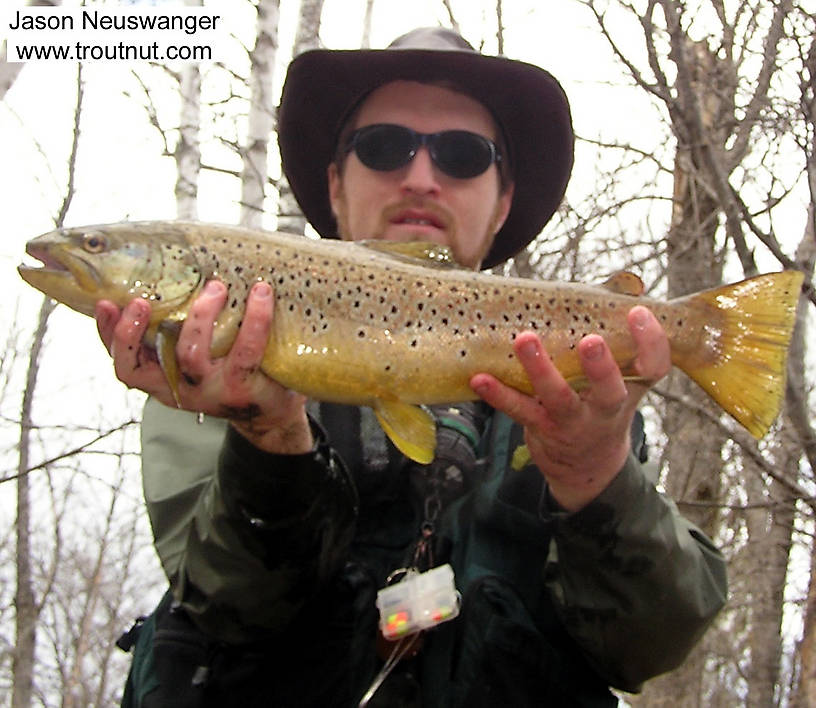 "This fat-bodied 22"" male was my largest brown trout ever at the time.  It took a deep nymph and took me 150 yards downstream in a 20-minute fight in strong current. From the Namekagon River in Wisconsin."