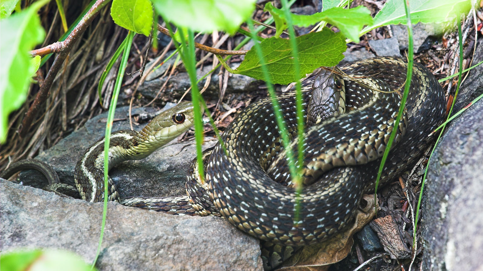Two garter snakes rest on the warm rocks alongside a path through a trout stream gorge. From Enfield Creek in New York.