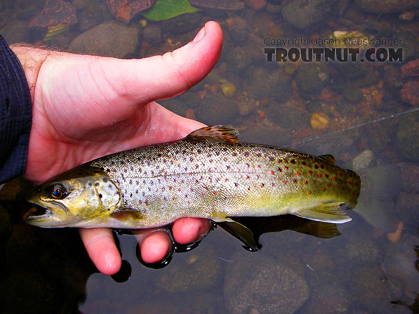 This nice little brown fell for a Trico imitation on my -- oh, I don't know -- 10,000,000th cast? From the Neversink River in New York.