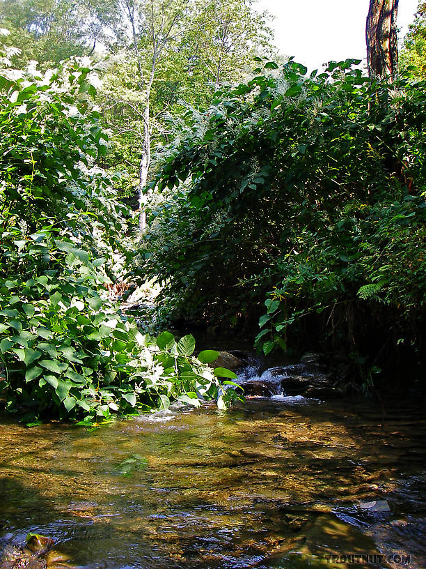 This little pool shelters some eager small-stream brook trout.  You can see this pool from underwater, too. From Mystery Creek # 89 in New York.