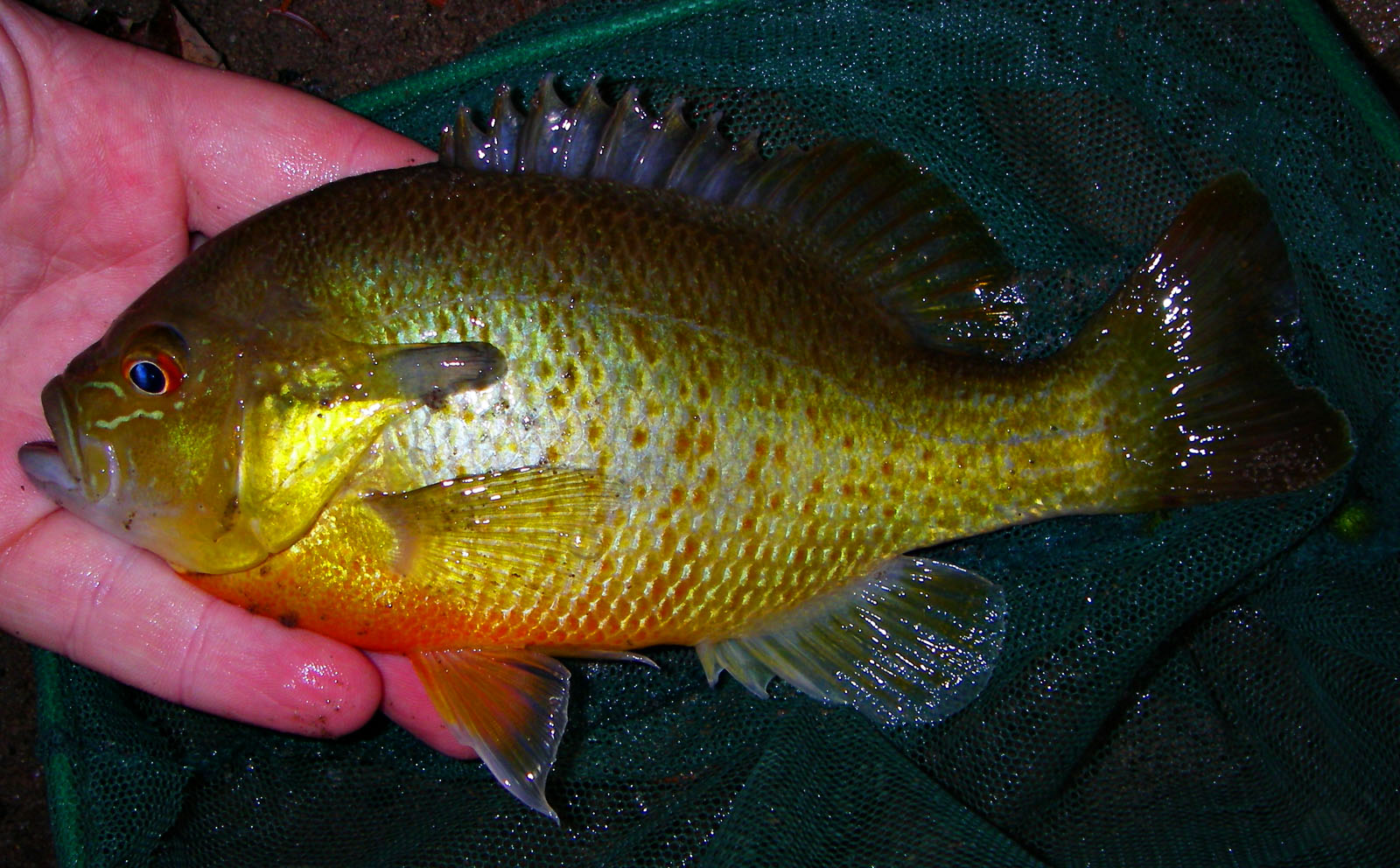 One strange evening on a classic trout stream had brought me nothing but fallfish (albeit nice ones) when I cast outside the main current flow at a fish rising to little flying ants in a back eddy.  It took and, much to my surprise, it was a sunfish I'd never seen before!  Turns out it's a red-breasted sunfish, a common species in the East. From the Beaverkill River in New York.