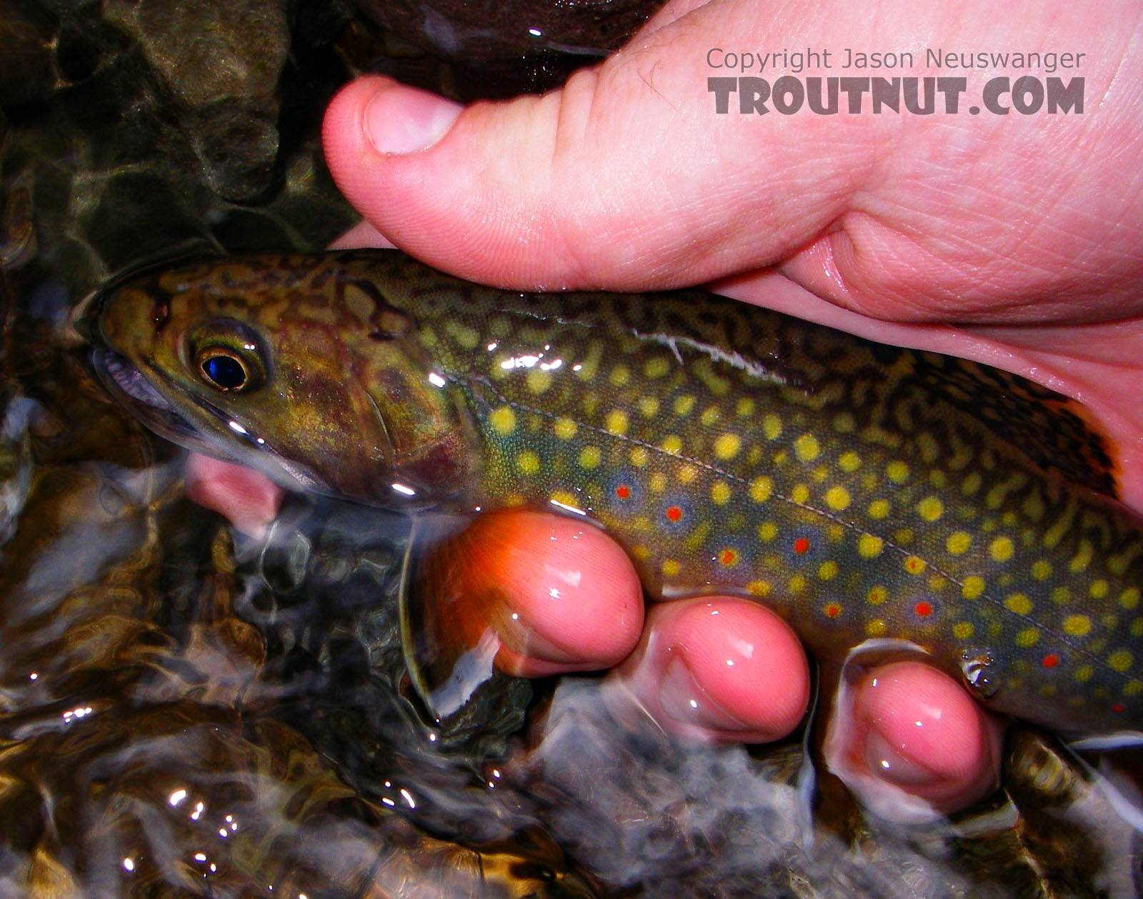 A perfect brook trout. From Rondout Creek in New York.
