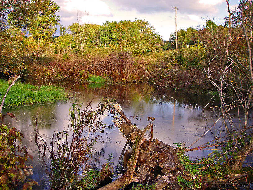 This beaver dam is an obstacle to trout migration, and the beaver pond is an obstacle to Troutnut migration.  It made a big enough swamp that I turned around and headed downstream to fish a tributary of this small stream -- a good choice, as it turned out. From Fall Creek in New York.