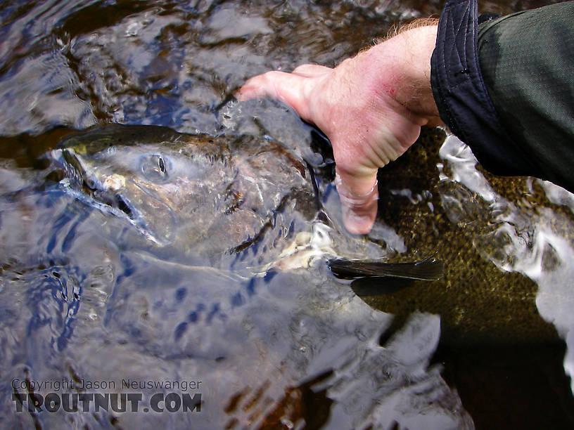 The salmon river for Salmon fishing new york