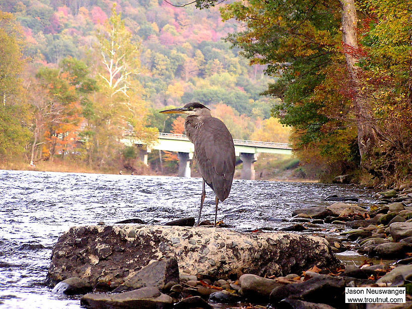 I'm breaking my rule about naming locations for this picture, since the context adds much to its meaning.  This great blue heron is standing on a slab of river-worn concrete silhouetted against the NY Quickway bridge over the Beaverkill River at Cairn's Pool.  Several human fishermen pursue trout from one shore while an avian fisherman pursues them from the other. From the Beaverkill River in New York.