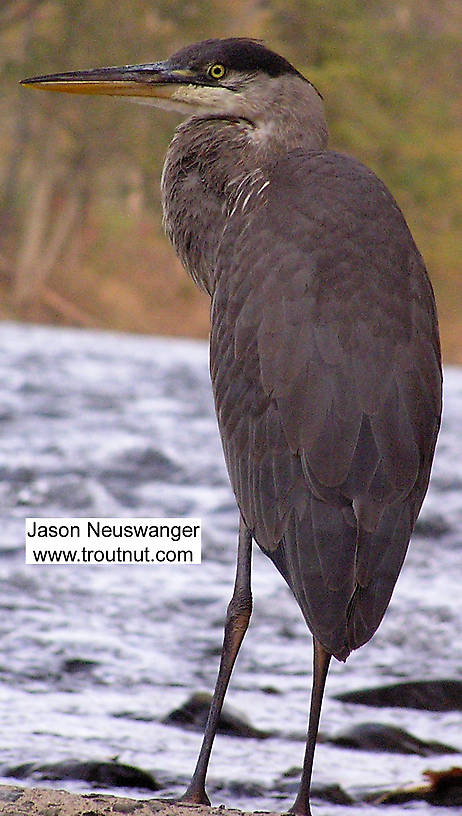 A great blue heron flaunts his contraband spey hackle. From the Beaverkill River in New York.