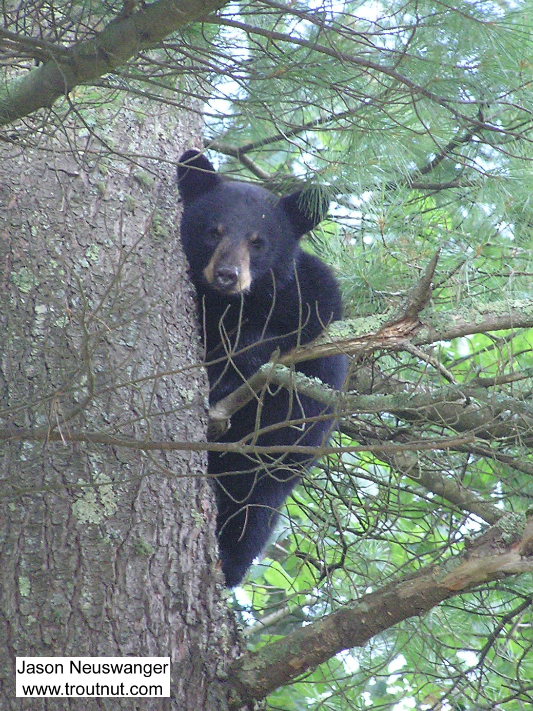 A black bear cub stares down at me from a large pine near one of my favorite trout streams. From McNaught Road, near the upper Namekagon in Wisconsin.