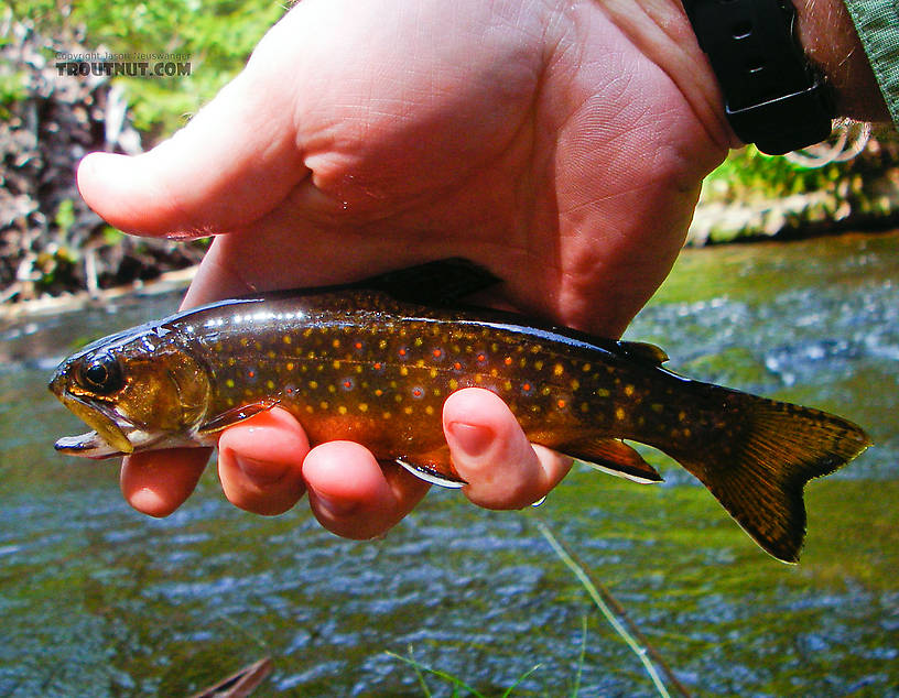 A pretty small-stream brookie. From Mystery Creek # 42 in Pennsylvania.
