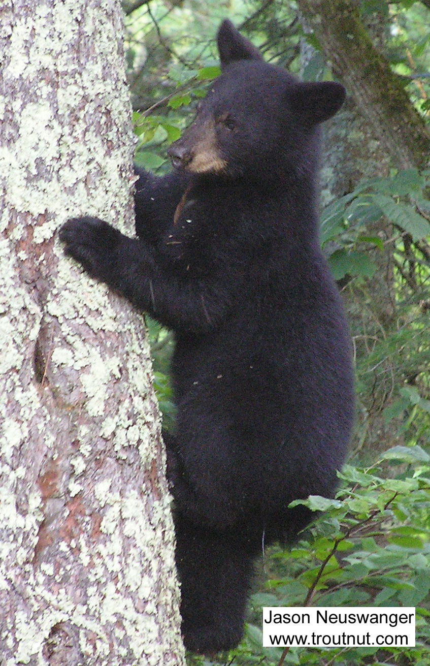 A black bear cub shimmies down a tree trunk near one of my favorite trout streams. From McNaught Road, near the upper Namekagon in Wisconsin.