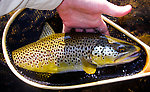 An 18-inch Catskill brown trout. From the West Branch of the Delaware River in New York.