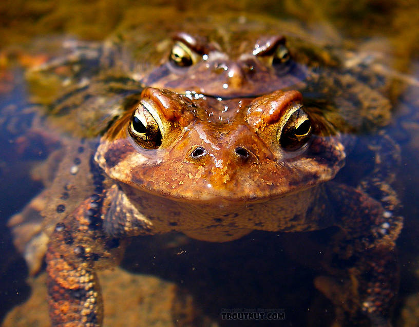 Mating toads, a common sight on Catskill rivers in early May. From the Neversink River Gorge (unnamed trib) in New York.