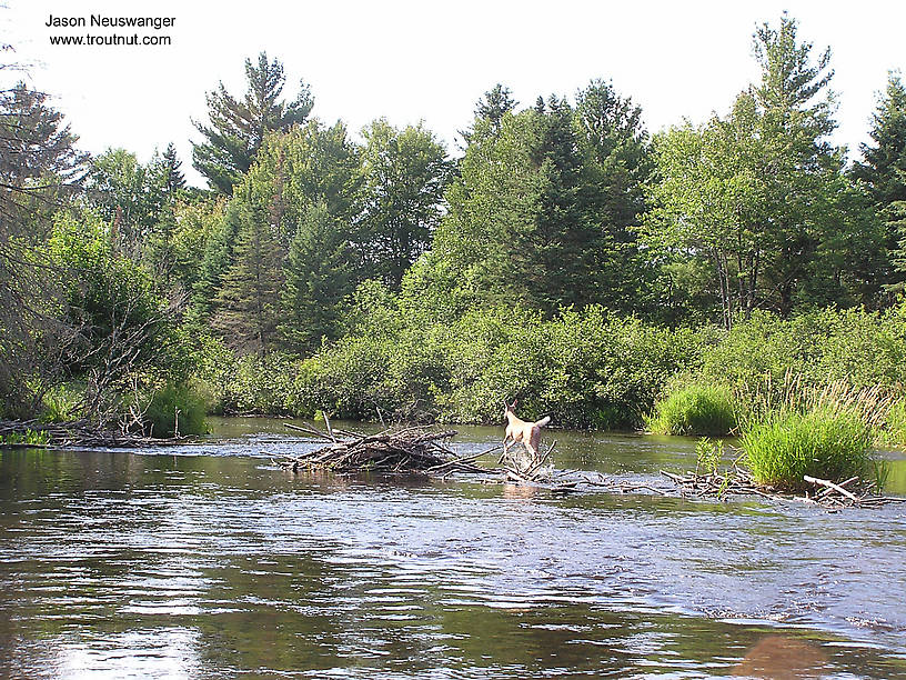 This deer ran at least a hundred yards in front of our canoe before it finally decided to get out of the river.  Here it just hurdled a beaver dam. From the Namekagon River in Wisconsin.