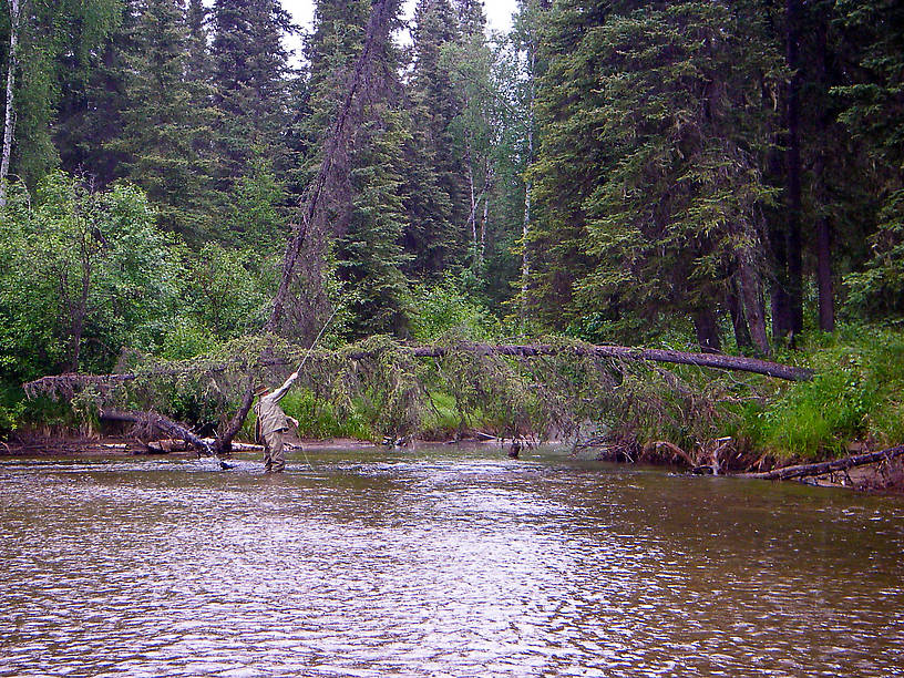 My dad went to great lengths to place a good cast above this high spruce sweeper into a little back slough where he saw a grayling rise.  The cast was good, he assures me, but the grayling did not take. From the Chatanika River in Alaska.